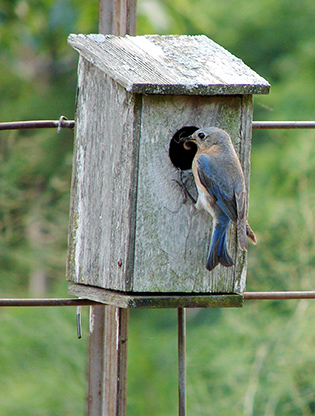 Bluebird and nesting box