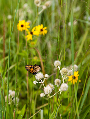 Butterfly on rattlesnake master in a meadow