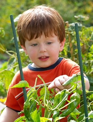 Boy examining growing peppers
