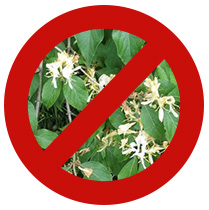 NO Bush Honeysuckle