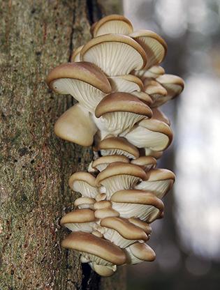 Pleurotus ostreatus