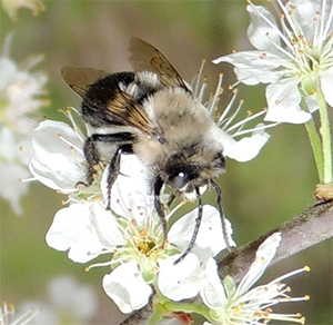 Southeastern Blueberry Bee