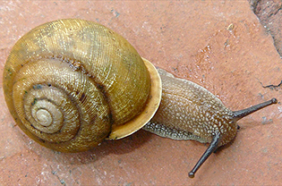 Toothed Globe Snail