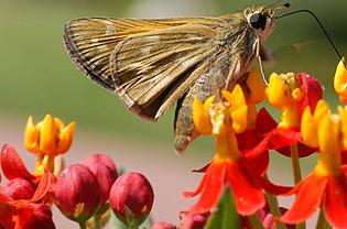 Skipper on blood flower