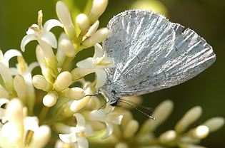 Spring azure butterfly