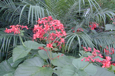 Clerodendrum Speciosissimum Missouri Botanical Garden Plant Article