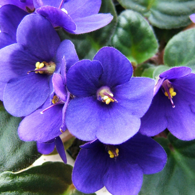 Metropolitan St. Louis African Violet Council Show and ... Ljubicica Shop