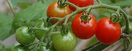 Supersweet 100 tomato