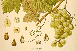 Botanical illustration of grape plant