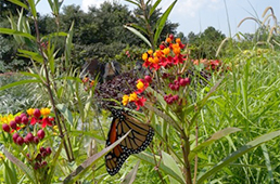Monarch butterfly on flowing plants