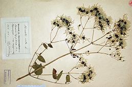 Pressed plant
