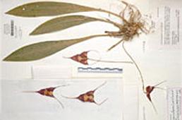 Pressed plant specimens