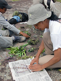 Scientist presses plant samples in the field