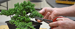 Student trimming bonsai