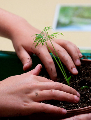 Child's hands potting a seedling