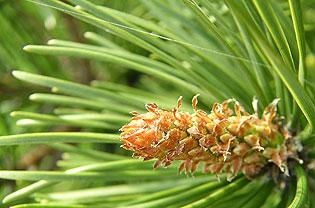 Evergreen cone