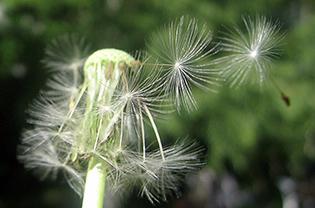Dandelion seeds dispersed by wind