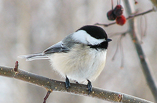 Chickadee on branch with berries