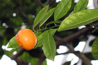 Citrus growing in the Climatron