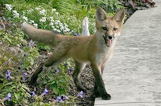 Fox in English Woodland Garden