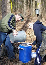 Collecting the syrup from the trees