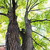 Basswood tree on Garden grounds