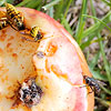 Rotting apple with insects