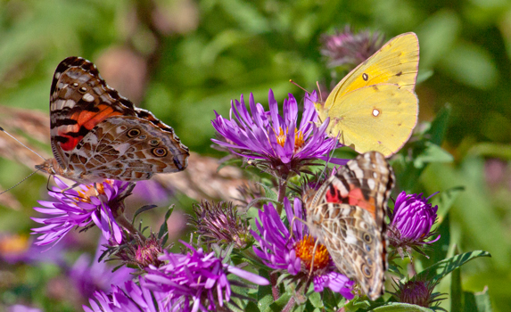 What Kind Of Food Do Butterflies Eat