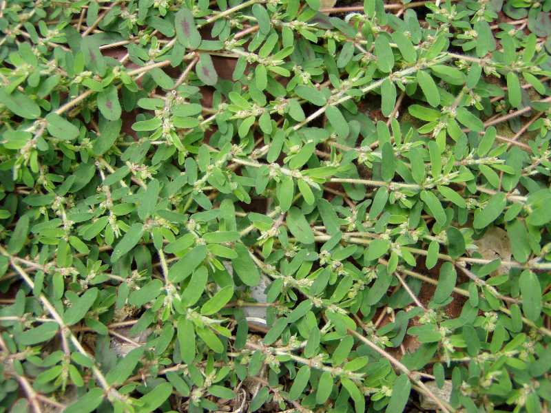 Prostrate Spurge Euphobia Or Chamaesyce A Weed Of Lawns And Gardens Also Called Spotted Sandmat