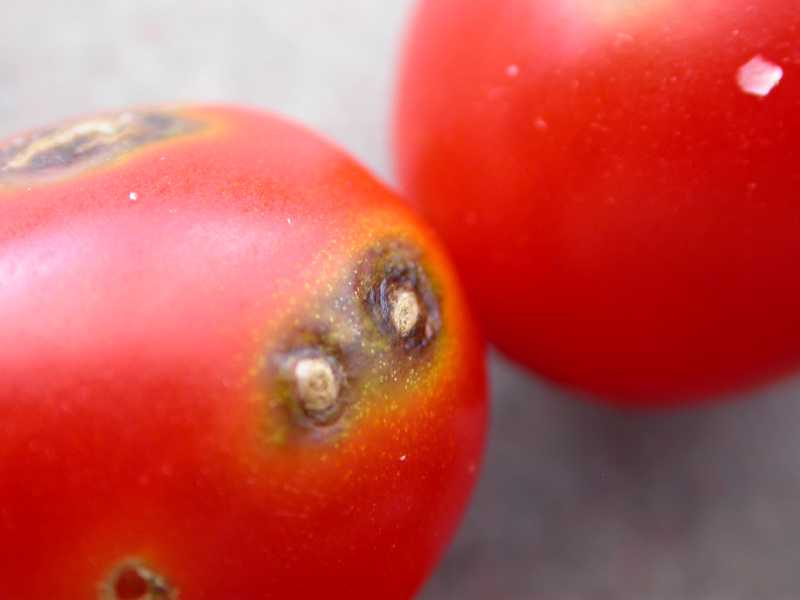 Tomato Fruit Problems
