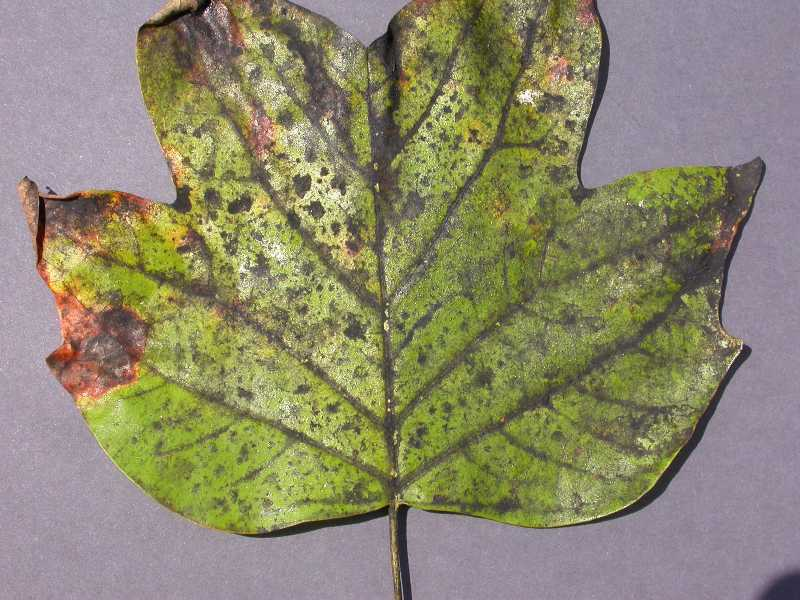 Black Mildew And Sooty Mold