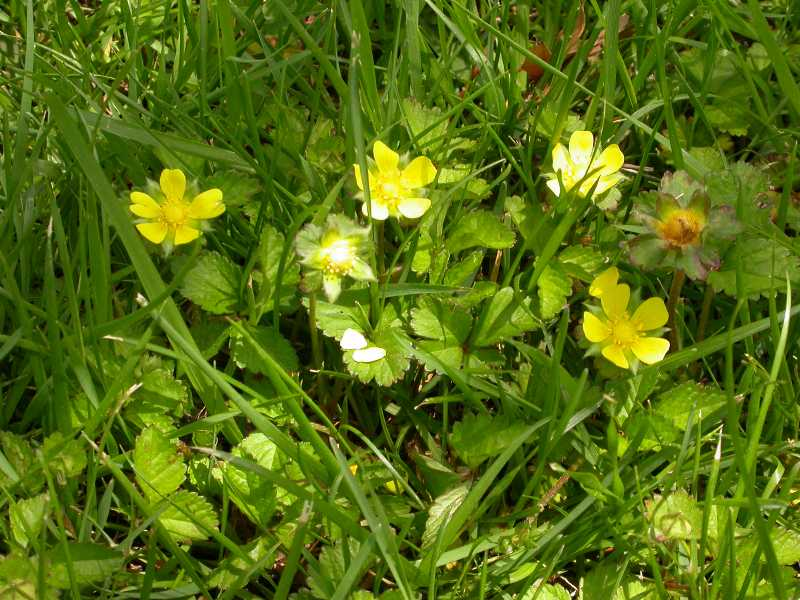 Perennial Broadleaf Weeds In Lawns