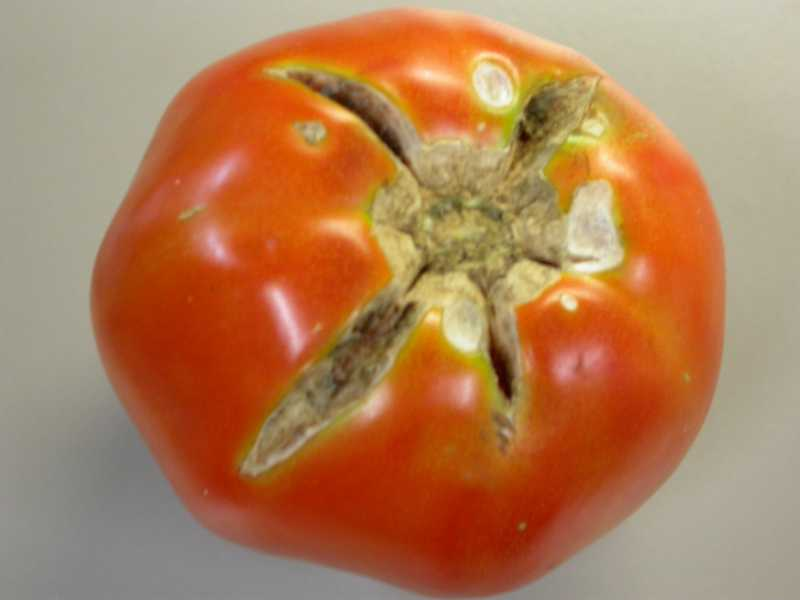 Environmental Abiotic Problems Of Tomatoes