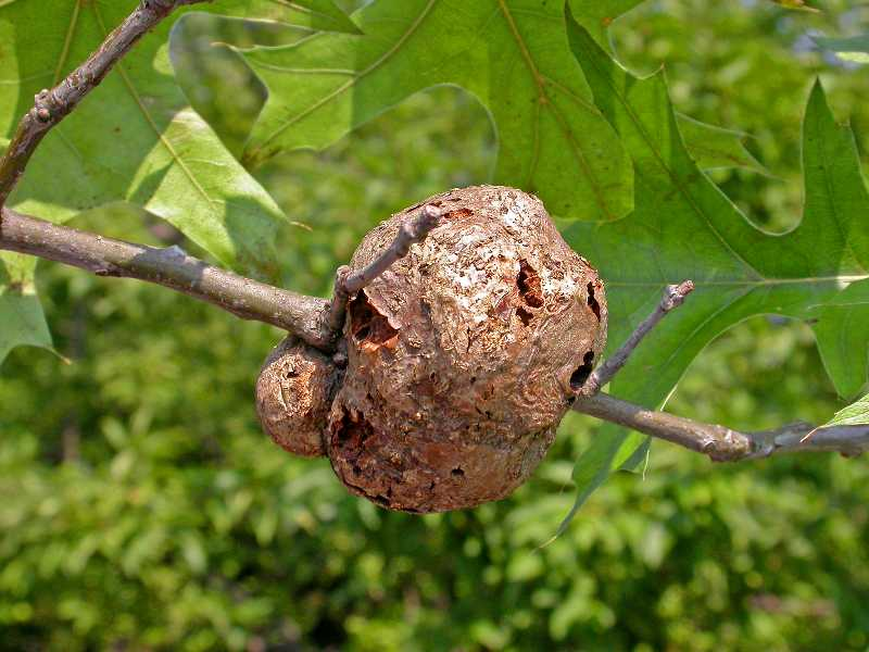 Gouty, horned and other twig galls