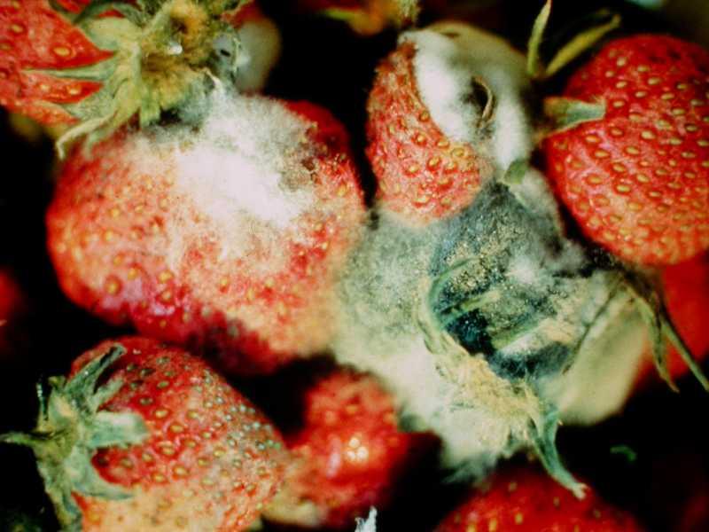 Gray Mold Of Strawberry
