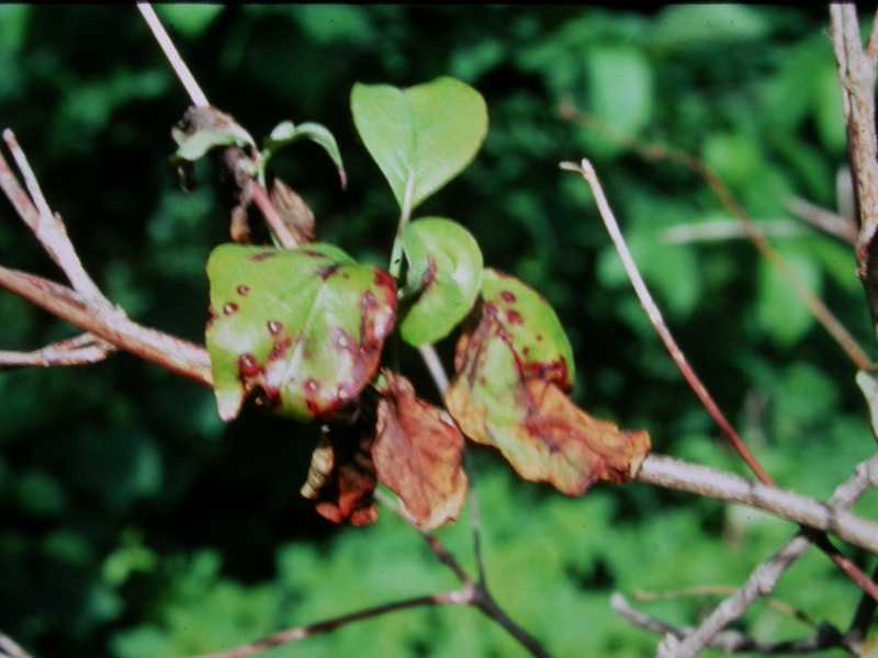 Leaf Spots Of Dogwood