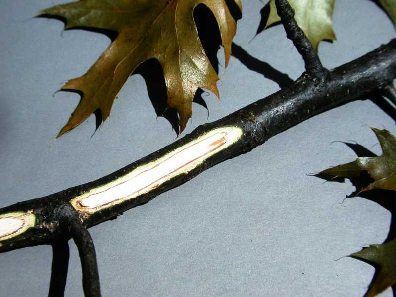 Pin Oak Cankers http://www.missouribotanicalgarden.org/gardens-gardening/your-garden/help-for-the-home-gardener/advice-tips-resources/pests-and-problems/diseases/cankers/oak-wilt.aspx