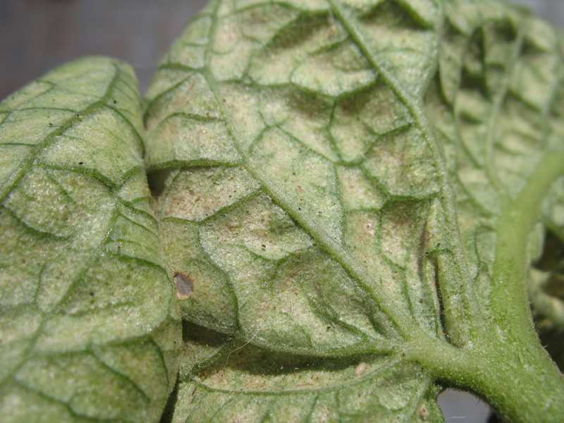 Spider mites - outdoors