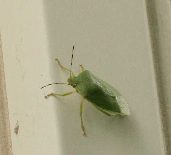 Green stink bug adult  Hemiptera. Stink bugs
