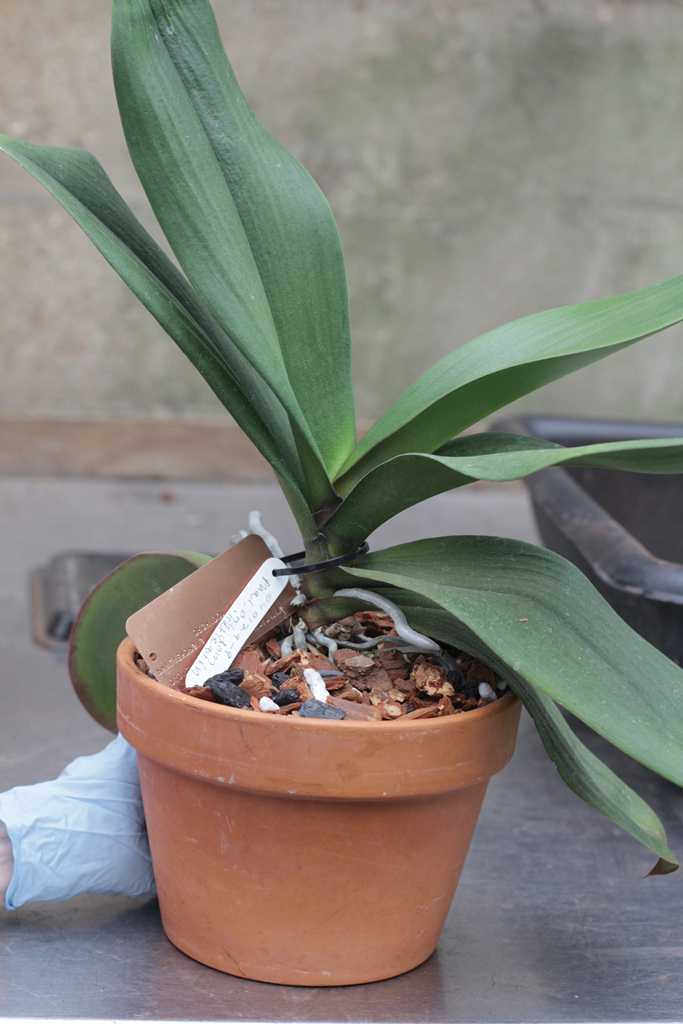 Repotting Phalaenopsis Moth Amp Other Monopodial Orchids