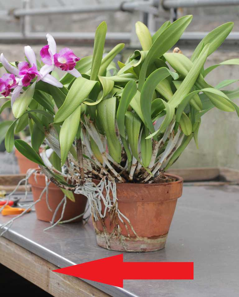 repotting cattleya other sympodial orchids. Black Bedroom Furniture Sets. Home Design Ideas