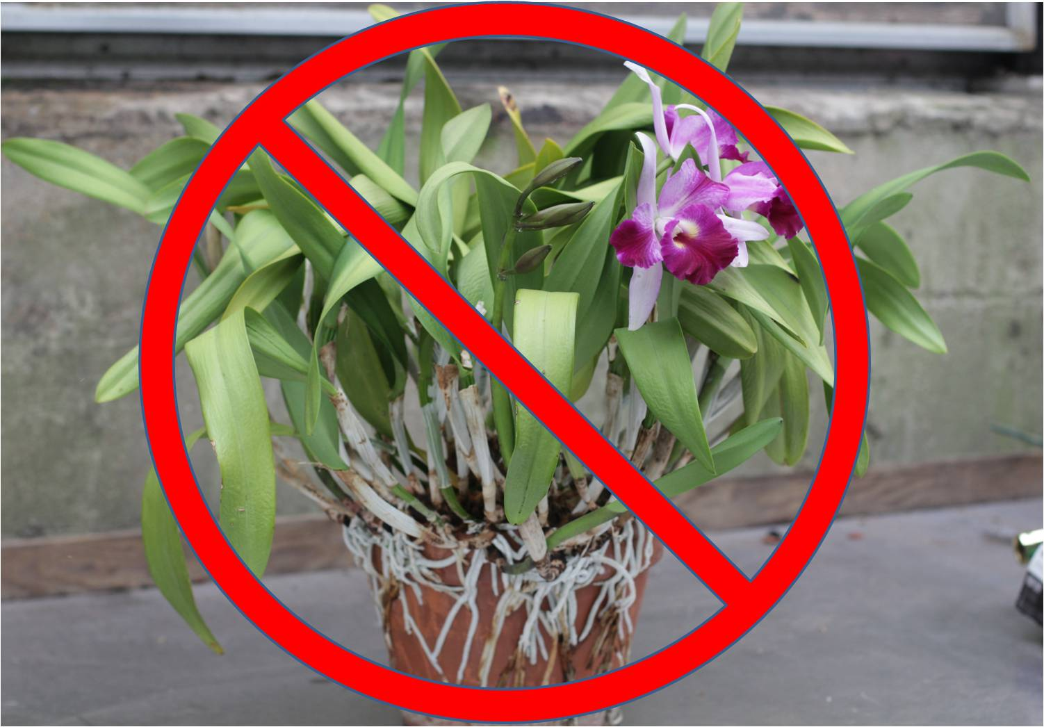 How to transplant an orchid in another pot in an unusual way. Everyone gasped 13