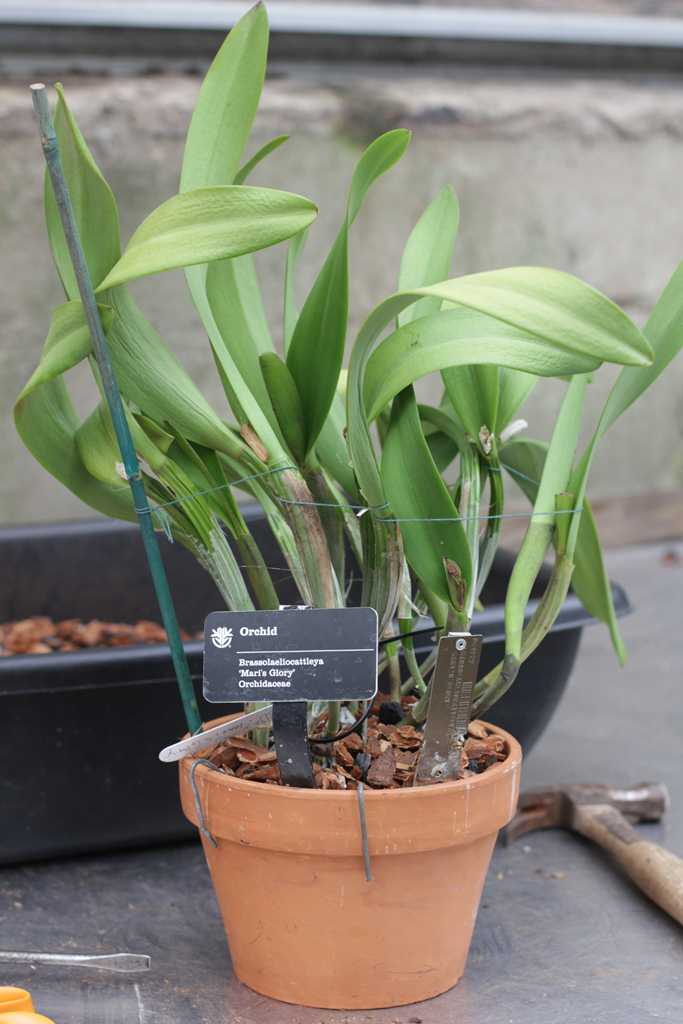 Repotting Cattleya Amp Other Sympodial Orchids