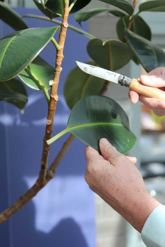 Air Layering A Dicot Plant