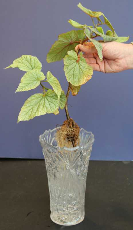 rootings of cuttings of dogwoods Plsc 368: lecture 10 techniques of propagation by cuttings i types of cuttings 1 stem cuttings a hardwood (deciduous, narrow-leaved evergreen.