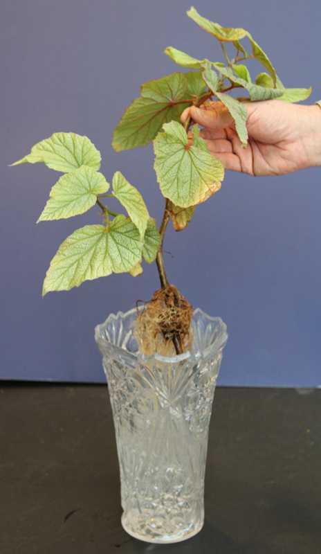 Rooting Cuttings In Water