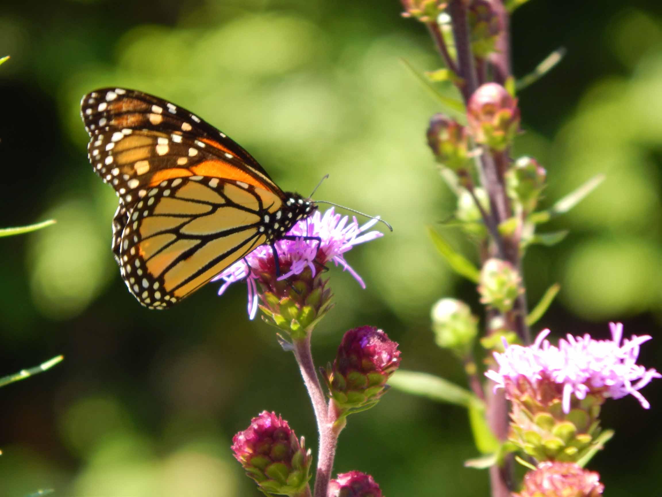 Liatris and monarch