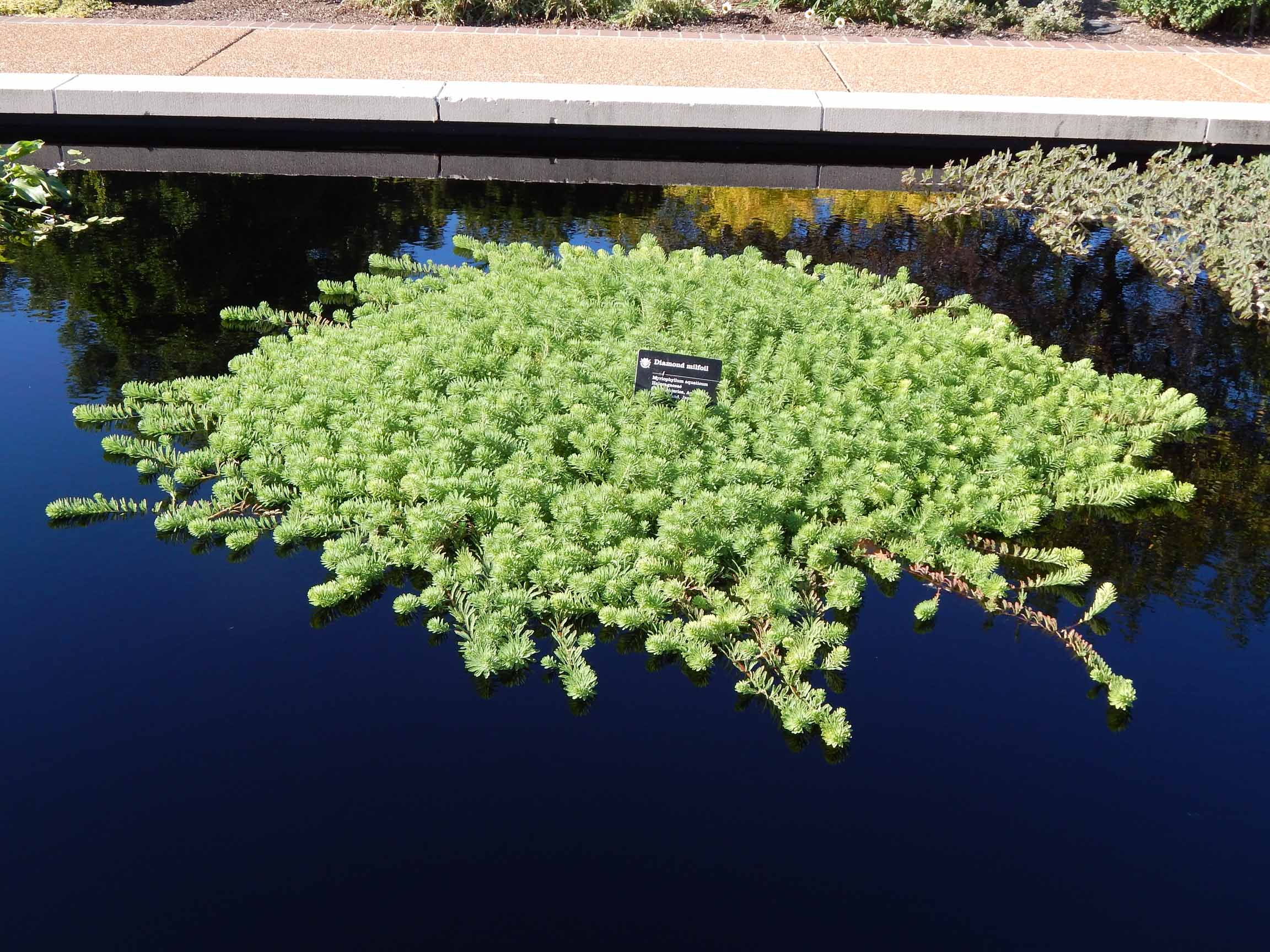 Aquatic milfoil
