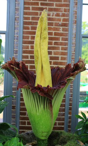 Titan Arum