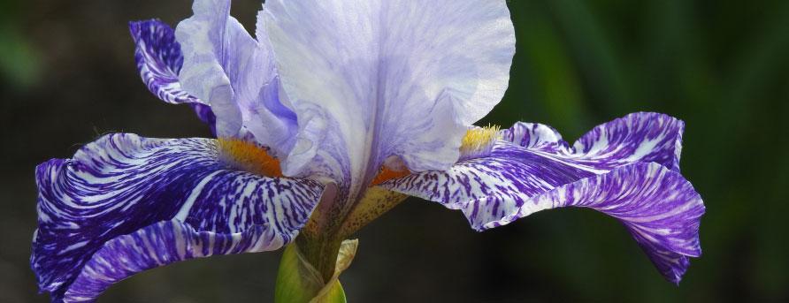 Millennium Falcon iris